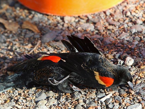Beebe Arkansas Birds. Arkansas 5000 lackbirds